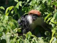 udzungwa-red-colobus-monkey